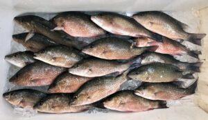 Mangrove Snapper Fish Box,